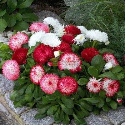 Маргаритка цветок купить